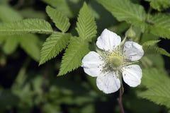 Flower of roseleaf bramble Stock Photos