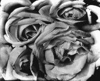 Flower roses. A brunch of roses in white and black Royalty Free Stock Photo