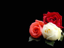 Roses on black  Royalty Free Stock Photography