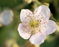 Flower of the rubus plant Royalty Free Stock Image