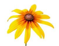 Flower of Rudbeckia hirta isolated on white Stock Photos