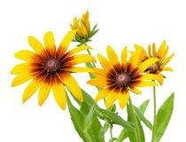 Flower of Rudbeckia hirta isolated on white Royalty Free Stock Image