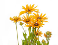 Flower rudbeckia isolated Royalty Free Stock Photos