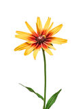 Flower rudbeckia isolated on white background Stock Photography