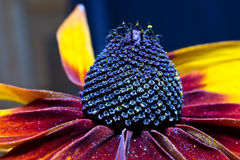 Flower Rudbeckia Royalty Free Stock Images