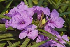 Flower ruellias Stock Photography