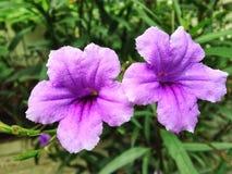 Flower. Ruellias, wild petunias Royalty Free Stock Photo
