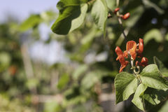 Flower of the runner bean plant. A harvest background with a picture of the red flower of the runner bean Stock Image