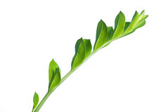 Flower's branch isolated on white. Green offspring isolated on white Royalty Free Stock Images