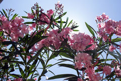 Flower`s closeup. Beautiful pink spring flowers in the sunlight Stock Photography
