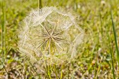 A flower`s feathery puff ball seeds. Feathery puff ball seeds ready to float away on the wind Royalty Free Stock Image