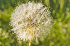 A flower`s feathery puff ball seeds. Feathery puff ball seeds ready to float away on the wind Royalty Free Stock Photos
