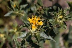 Flower of a safflower Carthamus tinctorius stock image