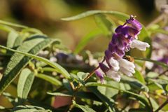 Flower of sage stock photography