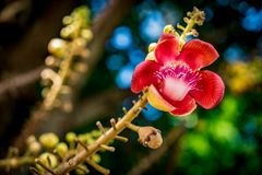 Flower of sala tree. Or cannonball tree Royalty Free Stock Image