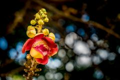 Flower of sala tree. Or cannonball tree Stock Images