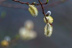 Flower salix caprea. The flower of salix caprea Stock Image