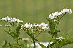 Flower of sambucus Royalty Free Stock Image