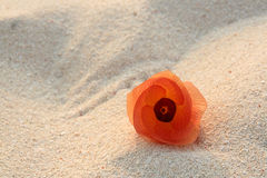 Flower on sand. Orange flower in beach sand glowing in the morning sun Stock Photos