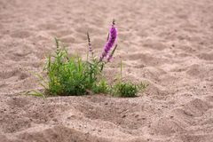 Flower on sand dune Royalty Free Stock Photos