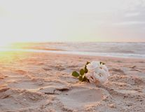 Flower in the sand, rose on the beach royalty free stock image