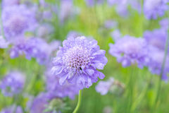 Flower Scabiosa Stock Images