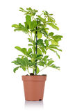 Flower schefflera in pot on white background. Stock Images