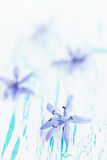 Flower scilla on the board Stock Photos