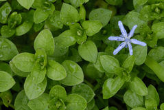 Flower of  Scilla among leaves of chickweed Stock Image