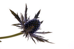 Flower of scotland. Thistle shot on white Royalty Free Stock Images