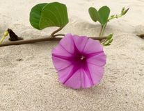 Flower of sea bindweed Stock Image