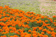Plant , flower, The flower sea , Marigold and Morning glory, friendship, health, sweet love, healthy longevity Royalty Free Stock Images