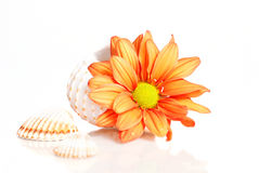 Flower in sea shell over white Royalty Free Stock Photography