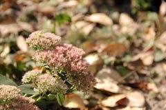 Flower Sedum Stock Photo