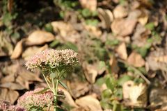 Flower Sedum Royalty Free Stock Photography