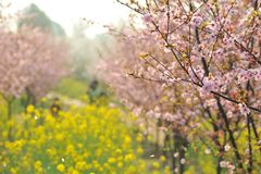 Pink peach and plum blossom-flower and seedling industry Stock Image