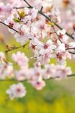Pink peach and plum blossom-flower and seedling industry Royalty Free Stock Images