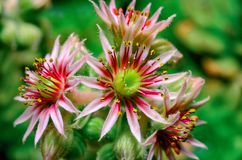 Flower sempervivum houseleeks is a genus of about 40 species of flowering plants in the Crassulaceae family.  stock photo