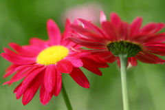 Flower Series. Close-up of Red Daisies Stock Images