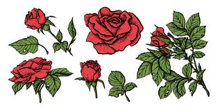 Flower set highly detailed hand drawn roses. Vector illustration Stock Photo