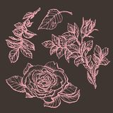 Flower set highly detailed hand drawn roses. Vector illustration Stock Photography