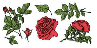 Flower set highly detailed hand drawn roses. Vector illustration Stock Images