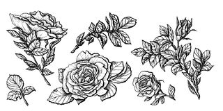 Flower set highly detailed hand drawn roses. Vector illustration Stock Photos