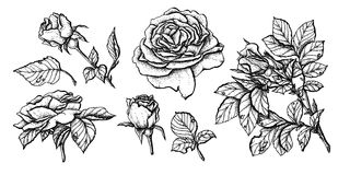 Flower set highly detailed hand drawn roses. Vector illustration Royalty Free Stock Images