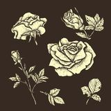 Flower set highly detailed hand drawn roses. Vector illustration Royalty Free Stock Image