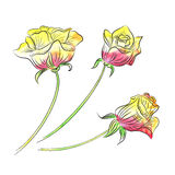 Flower set. Isolated vector flowers. Vector illustration. EPS 10. Flower set: backround isolated vector flowers. Three roses pattern in watercolor hand drawn stock illustration