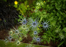 Flower shaped like a star Stock Photography