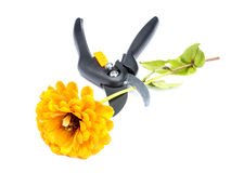 Flower and shears Royalty Free Stock Photography