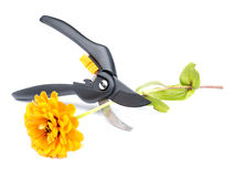 Flower and shears Royalty Free Stock Photo