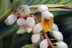 Flower shell ginger or Alpinia zerumbet Stock Photos